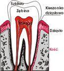 Budowa zęba
